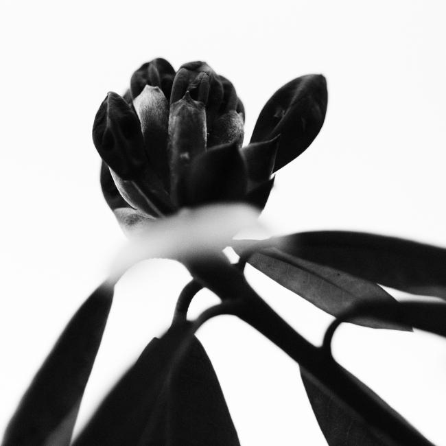 Blomst som er i ferd med å springe ut