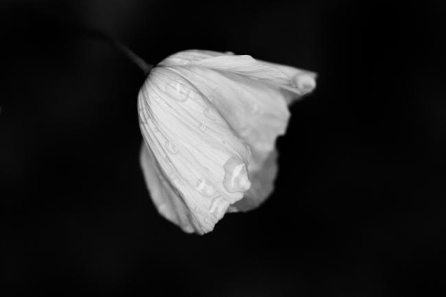 Nærbilde av kronblader med vanndråper, sett fra siden
